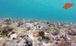 AWAK-Guadeloupe-excursion-Petite-Terre-un-poisson-coffre-dans-la-réserve-marine
