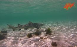 AWAK-Guadeloupe-excursion-Petite-Terre-balade-avec-un-requin-citron-01