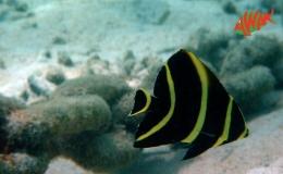 AWAK-Guadeloupe-excursion-petite-terre-pomachantus-paru-juvenile01
