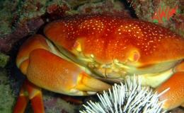 AWAK-Guadeloupe-excursion-petite-terre-crabe-dormeur