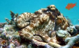 AWAK-Guadeloupe-excursion-petite-terre-poulpe-octopus