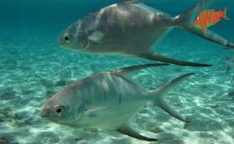 AWAK-Guadeloupe-excursion-petite-terre-carangue-pompano-trachinotus-carolinus